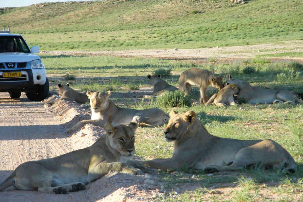 safari moto afrique du sud lions